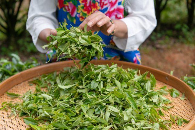 China tea farmer