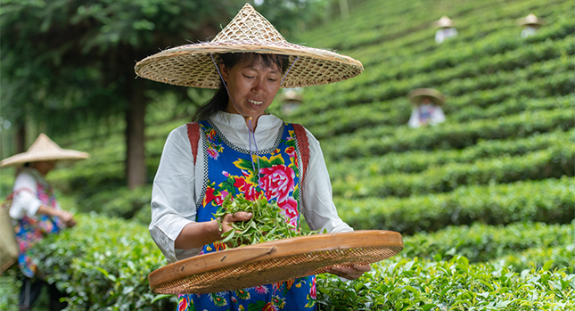 Tea farms in China